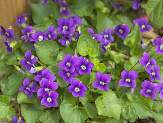 wildfood-violets-radical-remedies.png